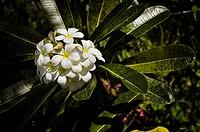 Frangipani (Plumeria) starting to wither, Bali, Indonesia, Southeast Asia