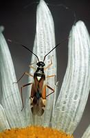 bug Cyllecoris histrionicus.