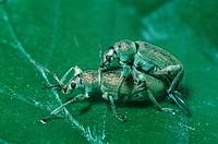 green leaf weevil Phyllobius maculicornis.