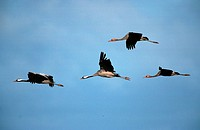 common crane Grus grus, Okt 98.