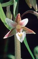 Epipactis palustris, Jul 98.