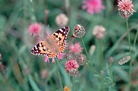 painted lady, thistle Cynthia cardui, Vanessa cardui, sitting on Centaurea , Germany, Eifel