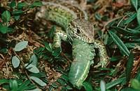 sand lizard Lacerta agilis, male eating cricket, Germany, Bavaria