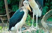 marabou stork Leptoptilos crumeniferus, young bird in nest, Kenya, Masai Mara NP.