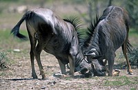 Blue Wildebeests Connochaetes taurinus fighting