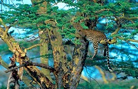 leopard Panthera pardus, with caught impala in acacia
