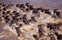 blue wildebeest, brindled gnu, white_bearded wildebeest Connochaetes taurinus, herd crossing river, Kenya, Masai Mara NP.