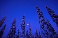 snow covered coniferous trees, silhouettes against blue sky, Finland, Kuusamo