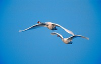 mute swan Cygnus olor, two individuals flying, Germany, North Rhine_Westphalia