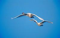 mute swan Cygnus olor, two individuals flying, Germany, North Rhine_Westphalia
