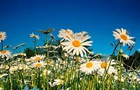 oxeye daisy Chrysanthemum leucanthemum, Leucanthemum vulgare, blooming, Germany, North Rhine_Westphalia, Hiller Moor