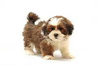 Lhasa Apso puppy, 8 weeks