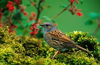 dunnock Prunella modularis, sitting on moss, Germany