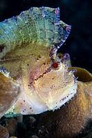 Leaf scorpionfish or Paper Fish (Taenianotus triacanthus), Indonesia, Southeast Asia