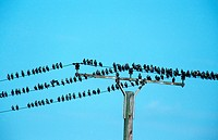 common starling Sturnus vulgaris, swarm on a telegraph line, Germany