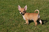 Chihuahua puppy, 11 weeks, standing on a meadow