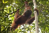 Orang Utan in the Semenggoh Wildlife Sanctuary near Kuching, Sarawak, Borneo, Malaysia, Southeast Asia