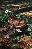 red deer Cervus elaphus, shot stag