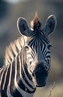 common zebra Equus burchelli, portrait, South Africa, Krueger NP, Aug 04.