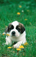 domestic dog, puppy lying on meadow, four weeks old.