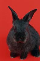 domestic rabbit Oryctolagus cuniculus f. domestica, Neuseelaender_mix, juvenile