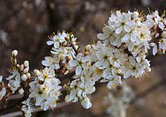 blackthorn, sloe Prunus spinosa, blooming