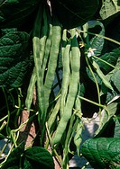 common bean Phaseolus vulgaris, mature fruits