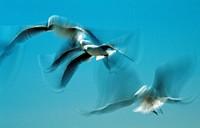 herring gull Larus argentatus.