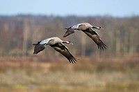 Common Cranes Grus grus flying in pairs in the countryside, Lake Hornborga, Vaestergoetland, Sweden, Scandinavia, Europe