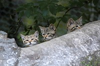 wild cat Felis silvestris, three kittens behind a trunk, captive, Germany, NP Bavarian Forest