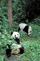 giant panda Ailuropoda melanoleuca, duo, captive, Panda centere, Wolong Valley