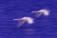 mute swan Cygnus olor, two flying individuals