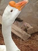 Goose, São Paulo, Brazil