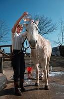 Connemara pony Equus przewalskii f. caballus, washing