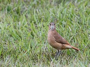 Bird, João_de_barro, São Paulo, Brazil