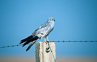 montague´s harrier Circus pygargus, male sitting on a pole, Spain