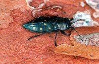 metallic wood boring beetle, metallic wood borer, splendour beetle, buprestid Melanophila picta, imago
