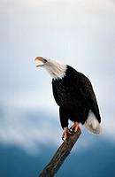 American bald eagle Haliaeetus leucocephalus, calling amongst thrift, Scotland, Handa Island, Mrz 99.
