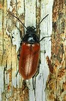 alleculid beetle Omophlus lepturoides, imago