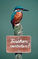river kingfisher Alcedo atthis, sitting on lookout with ´no fishing´ sign , Germany, Bavaria, Schwaebische Alb