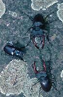 stag beetle, European stag beetle Lucanus cervus, Jun 98.