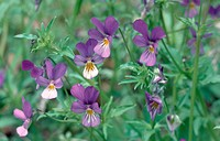 heart´s ease, heartsease, wild pansy, three colored violet Viola tricolor, flowers