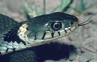 grass snake Natrix natrix.