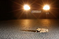 European common toad Bufo bufo, a toad sits on a street in front of an approaching car, Germany, Rhineland_Palatinate