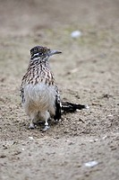 Greater Roadrunner Geococcyx californianus, North America