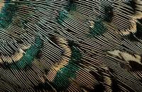 common pheasant, caucasus pheasant, caucasian pheasant Phasianus colchicus, detail of the back wings