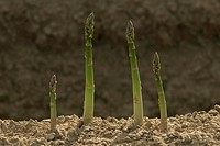 Asparagus growing on field, Poigern, Bavaria, Germany, Europe