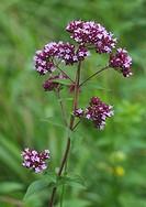 wild origanum, wild marjoram Origanum vulgare, flowering