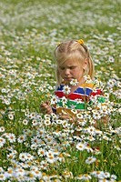 scentless mayweed, scentless chamomile Tripleurospermum perforatum, Tripleurospermum inodorum, Matricaria inodora, girl picking flowers in a flowering...