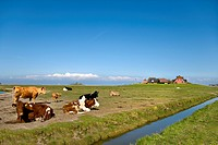 Cows on Hallig Hooge island, North Friesland, Schleswig-Holstein, Germany